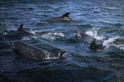A Feröer-szigeteken egyetlen nap alatt 1400 delfint öltek meg