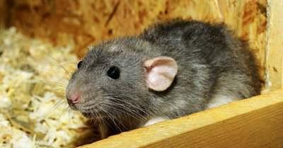 Ez a leghatékonyabb módszer a patkány ellen, meglepő helyről jön a segítség