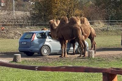Ebbe a pest megyei városba költözik a szafaripark Szadáról