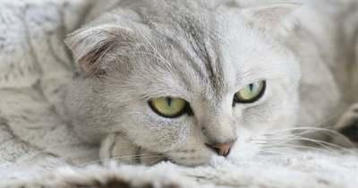 Döbbenetes összefüggést találtak a macskák és a koronavírus között