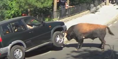 Hátrább az agarakkal! Ezek az állatok nem félnek az autóktól – 5 videó, amelyet muszáj látnod!