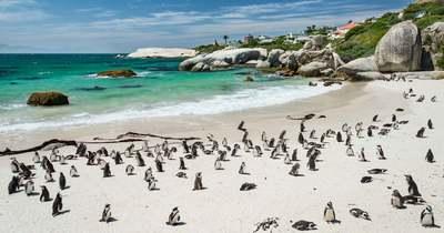 Méhraj gyilkolta le a kihalás szélére sodródott pingvineket