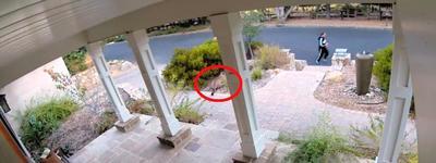 Veszélyes ragadozó figyelte a futót a bokor mögül – videó