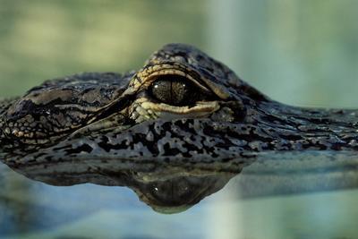 Ismeretlen mélytengeri szörny ragadta el a féltonnás aligátort