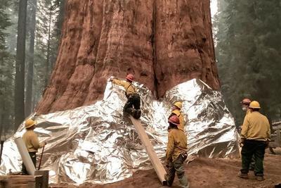 Sikeresen megvédték a tűztől a 4 testőr nevű mamutfenyő-csoportot