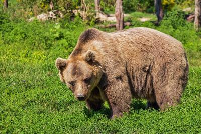 Álló medvével találta szemben magát egy nő Erdélyben