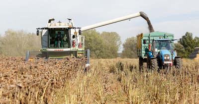 Napraforgó: jó a minőség – Chernelházadamonyán gazdálkodó cégnél jártunk – fotók