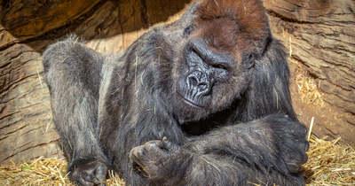 Hátra lökte a hím gorillát és orálisan kielégítette a kisgyerekek szeme láttára – Videó!