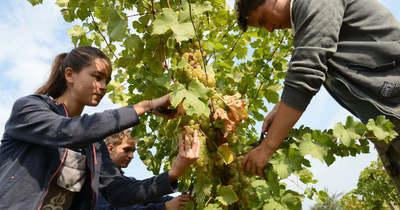 Beérett a munkájuk gyümölcse, vizsgabor lesz a maguk nevelte szőlőből