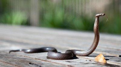 Kígyóhoz hívták ki az állatbefogókat, de valami sokkal borzalmasabb látvány fogadta őket – fotó