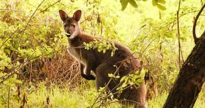 Véget ért Zsebibaba kalandja, kengurut fogtak Vönöckön – fotók, videó