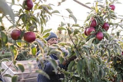 Zajlik a szüret az ország egyik leghíresebb almatermő vidékén - képek