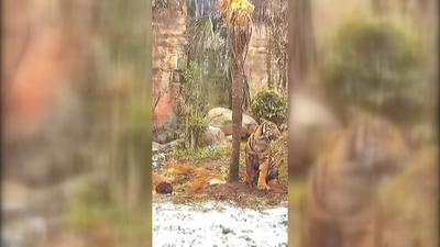Elfogták az emberevő tigrist