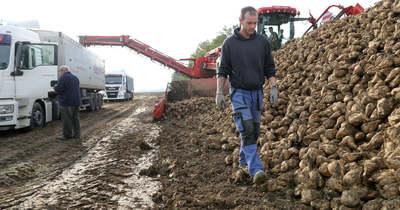 Kevesebb répából készül majd a magyar cukor
