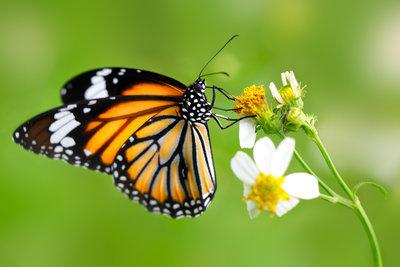 Új szárnyat kapott a sérült pillangó: kitalálod, miből készült?