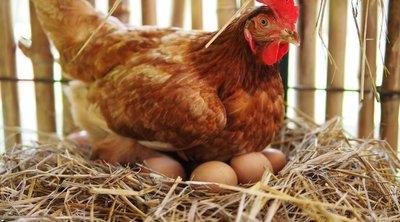 Csirkékkel termeltetnek covid-ellenanyagot magyar kutatók