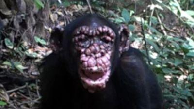 Leprás csimpánzok Afrikában