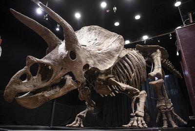 Képeken a legnagyobb ismert Triceratops csontvázának árverése