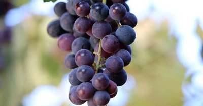 Nem hiszed el, hogy teszi el télire a szőlőt a szabolcsi háziasszony