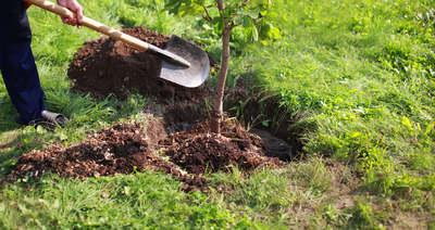 Erre figyelj, ha gyümölcsfát szeretnél ültetni