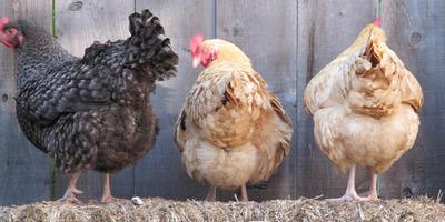 Meglepő: csirkék segítségével állítanák meg a koronavírust a pécsi kutatók