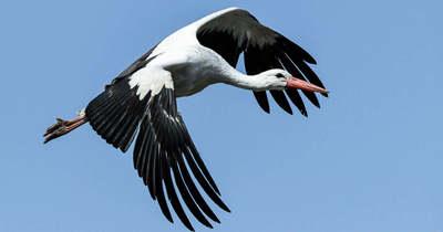 Váratlanul eltűnt a tószegiek kedvenc gólyája, Misi