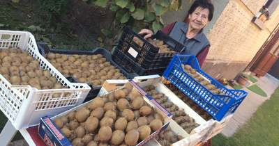 Több mint 100 kiló kiwi termett idén olvasónk kertjében – fotók