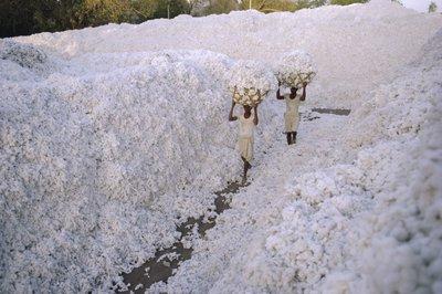 Az egyiptomi gyapottermelők örülhetnek a globális felmelegedésnek - képek
