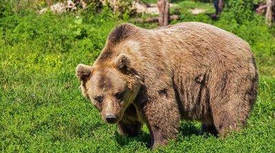 Brutális támadás történt, súlyosan megsebesítette a közel merészkedő férfit a medve