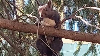 Mozgásképtelen mókust szabadítottak a tűzoltók egy debreceni fáról