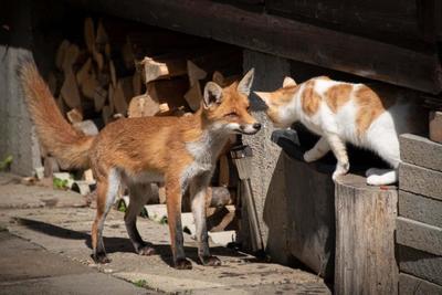 Egyre több róka bóklászik Pécs lakott területein