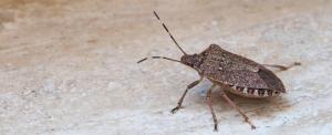 Mutatunk négy tippet a bosszantó büdös bogarak ellen
