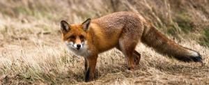 Egyre több a róka, de veszettség nincs