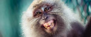 Őrjöngő majmok terrorizálják az indiai kormányhivatalokat