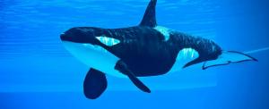 Dollármilliárdos tervvel védenék meg a kardszárnyú delfineket