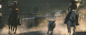 Szökésben van egy rodeós tehén, inkább élvezi az életet