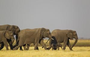 Agyonvágott kilenc elefántot
