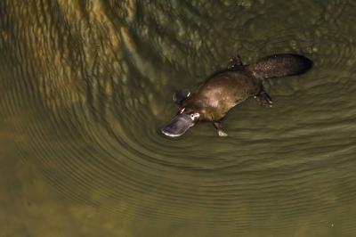 Örökre eltűnhet a Föld színéről az egyik legcukibb állat