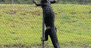 Így mászik át egy aligátor a kerítésen (videó)