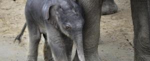 Megvan a budapesti állatkert kiselefántjának neve