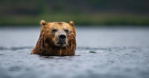 Megjelennek a medvék is a Balatonnál?
