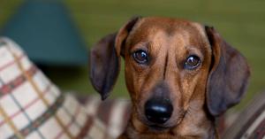 Mérgezik a kutyákat Balatonbogláron? Vagy miért került a virsli a fűbe?