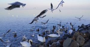 1, 2, 3... a vártnál is több vízimadarat számláltak idén a téli Balatonon