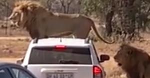 Eldurvult a szafari, az oroszlánok nem akartak elengedni az autóst – VIDEÓ