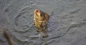 Köröznek egy halat Magyarországon, a Balatonból is próbálják ellopni a hatalmas pontyokat