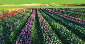Cikkünk nyomán megmozdult az ország a kőröshegyi tulipánokért