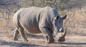 Állatok a kihalás szélén: Már csak két szélesszájú orrszarvú él a világon