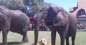 Az elefántok is megfürödtek a Balatonban a pénteki kánikulában