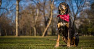 A kiképzett koronavírus-kereső kutyáké lehet a jövő?