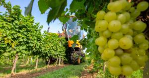 A Csabagyöngye szedésével kezdődött meg a hazai szőlőszüret